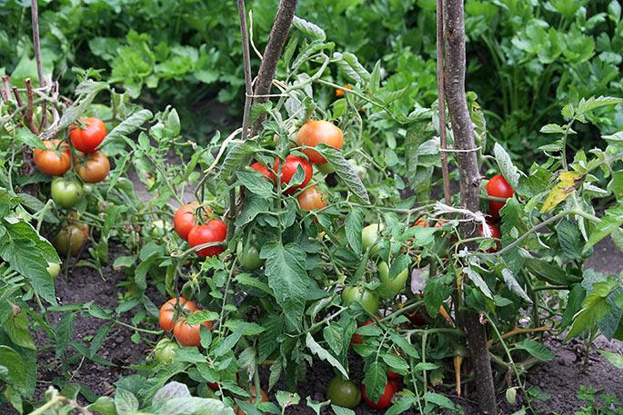 Bell Star tomater - efter at jeg har plukket de mest modne.