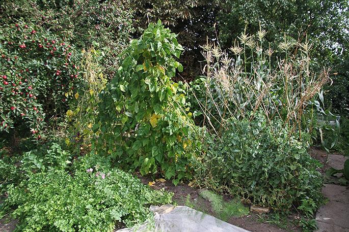 Sol, varme og blæst skader hurtigt planter, når jorden er tør. Bønner, ærter og selleri er særligt udsatte.
