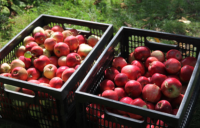 To kasser Summerred æbler- de er sorteret, så vi først spiser de mest modne og største.