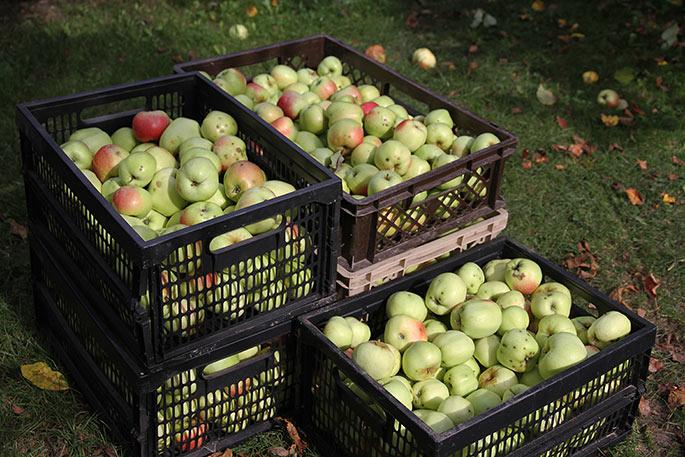 Fem kasser nedplukkede Filippa æbler.