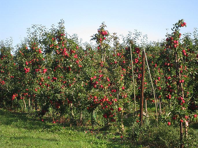 Små træer med rigtig mange æbler.