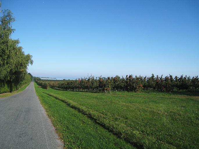 På vejen ud til Skalø er der æbleplantager på begge sider af vejen.