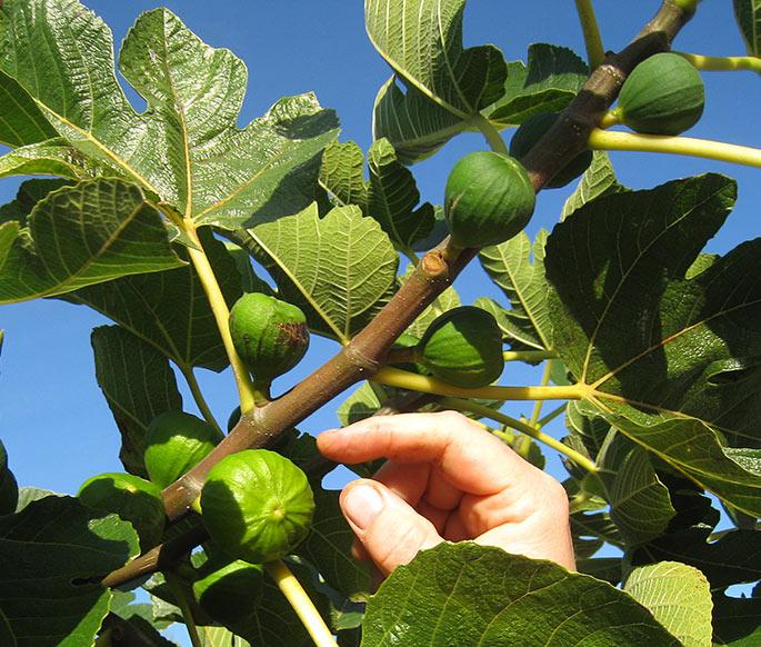 En meget storfrugtet figen.
