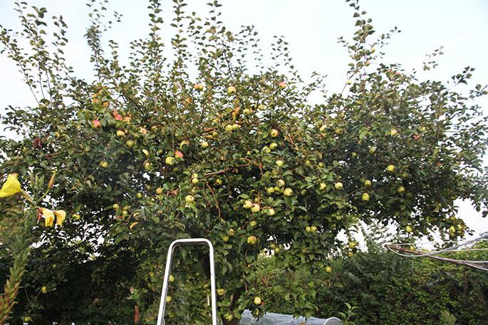 Mange æbler på træet - for mange og for mange tætsidddende grene.