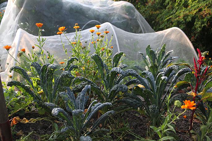 Palmekål og morgenfruer. På jorden under kålene ligger nogle omhakkede morgenfruer.