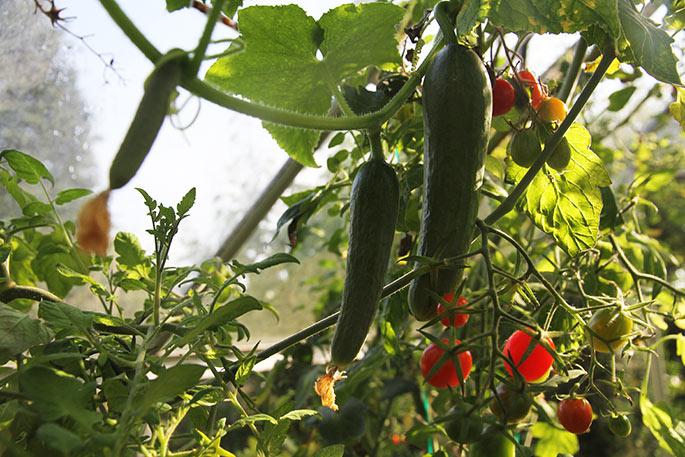 Et langt sideskud på springtur blandt tomaterne.