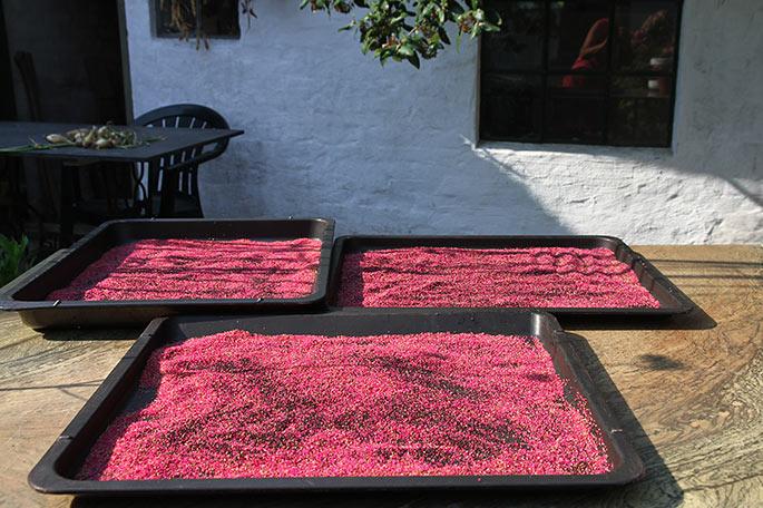 Amarantfrøene lægges ud til tørre i solen.
