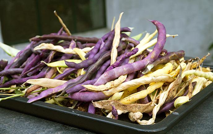 En blander høst af flere bønnesorter og både til umodne bønnefrø og tørrebønner.