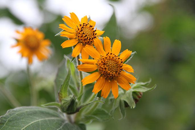 Nærbillede af Yakon blomsterne.
