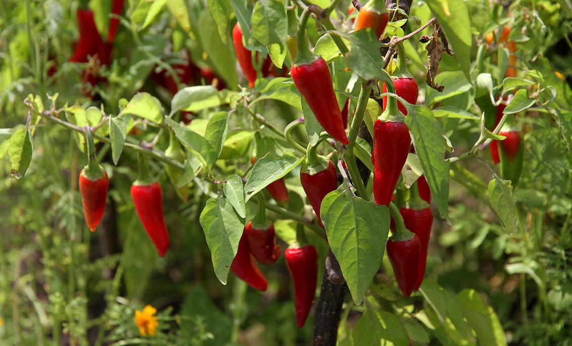 Modne chili