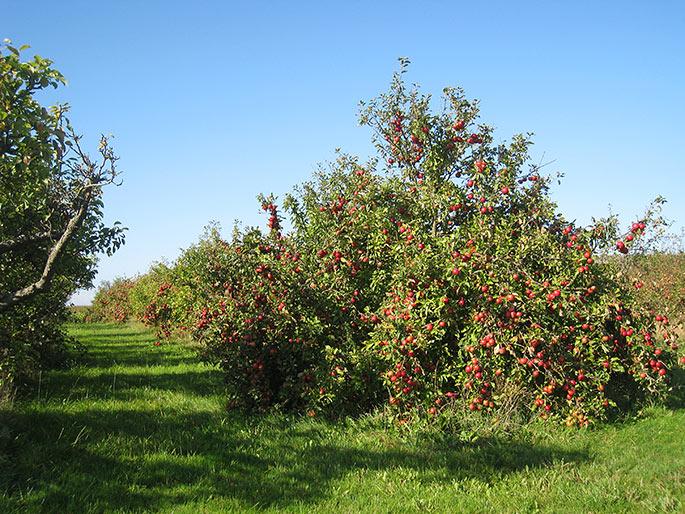 Plantage med cideræbler på Fejø.