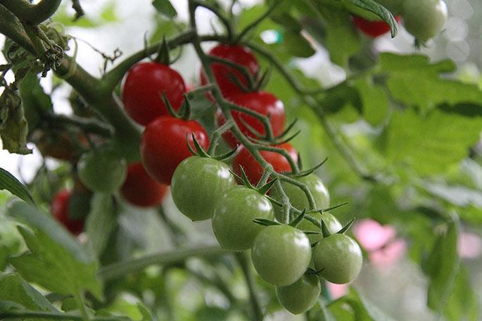 I drivhuset er der stadig mange fine tomater på vej.