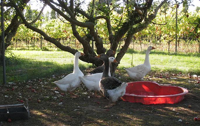 De stakkels gæs er kommet i indhegning. De går ellers rundt i plantagen, men kan ikke holde sig fra de modne druer.