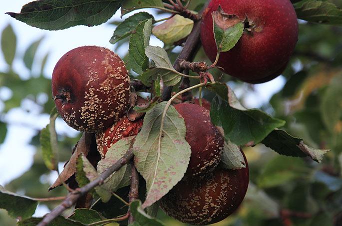 Der er mange æbler med gul monilia i år
