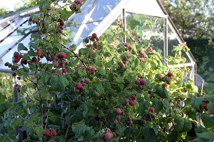 Hindbær giver et højt udbytte.