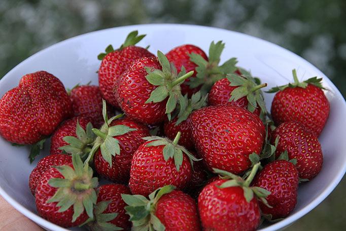 Nyplukkede jordbær