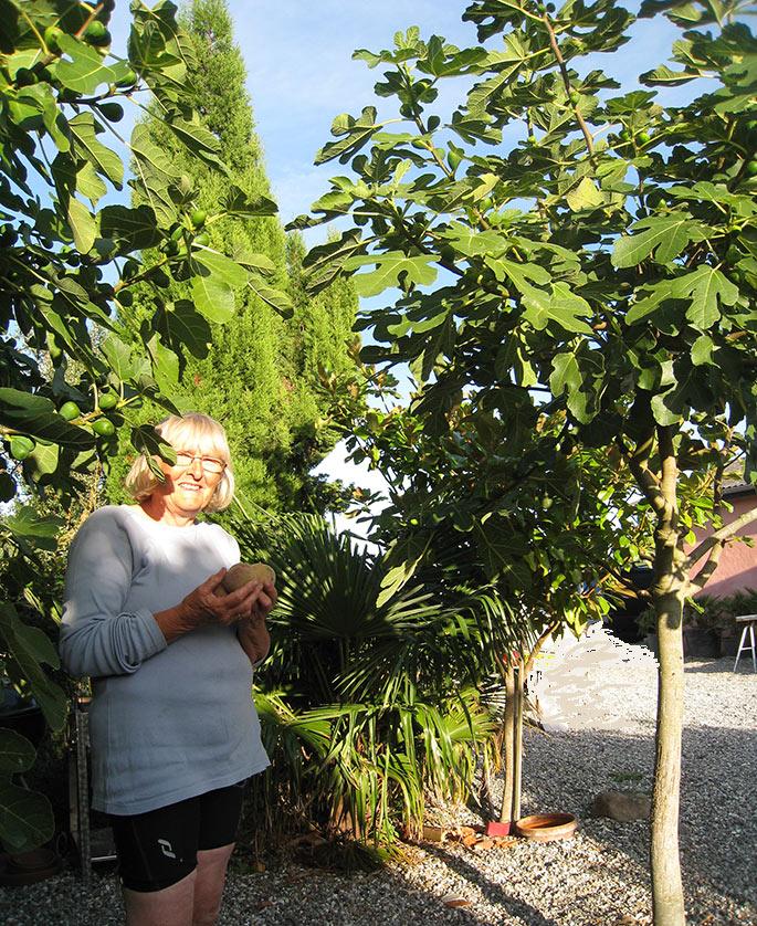 Store fridge figentræer, magnolia, cypres, palmer.