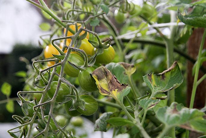 Der er skimmelangreb på tomatbladene.