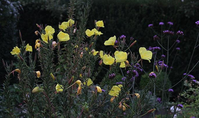 Klokken otte blomst i skumringen.