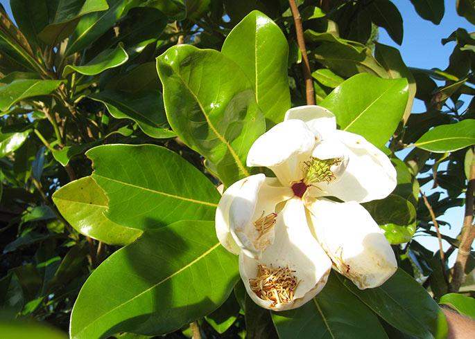 En sidste blomst i den store frodige magnolia.