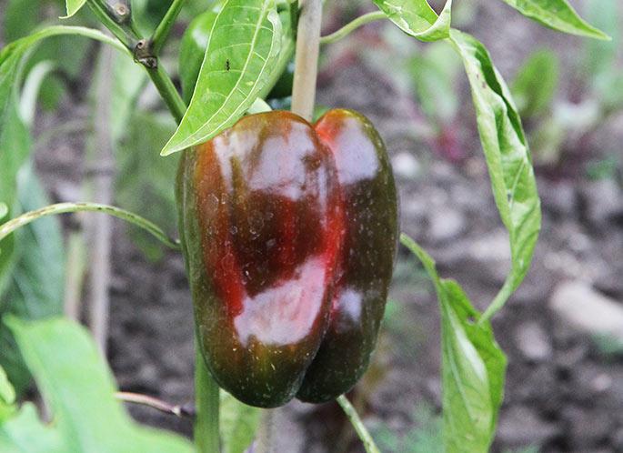Det varer ikke så længe, inden der er en stor rød peberfrugt i mit frilandbed.