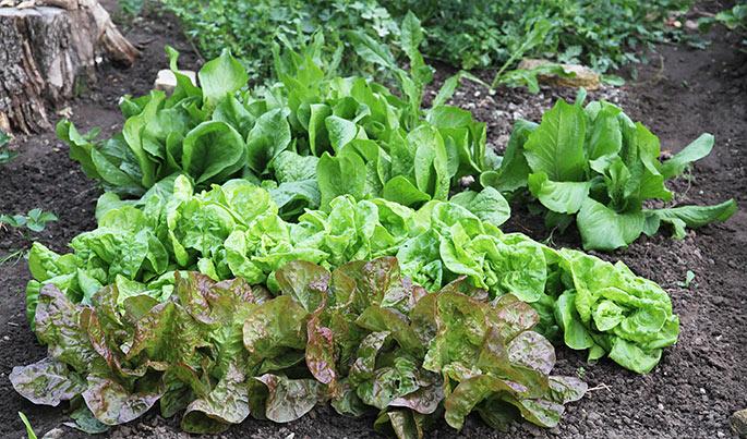 Rækker med hovedsalat og cikorie.