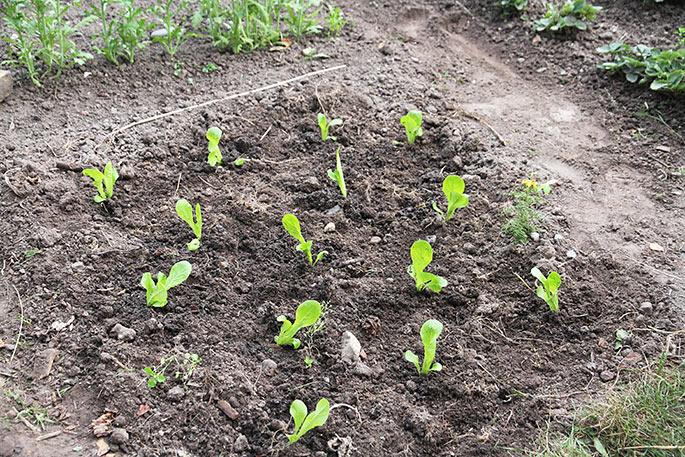 De nyudplantede salatplanter. Jorden var meget tør, men der er vandet to gange i plantehullerne.