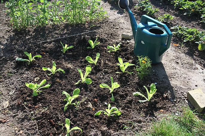 Salatplanterne. skal passes med vand