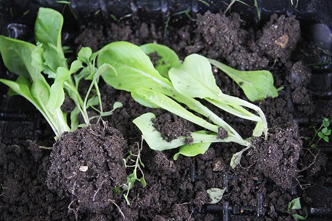 Salat udplantningsplanter.