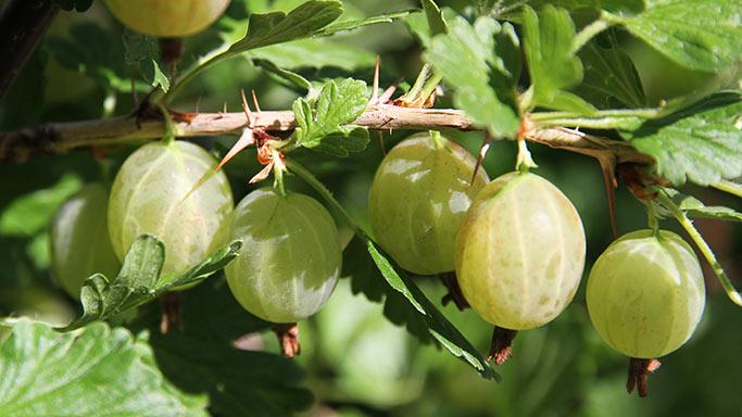Grønne stikkelsbær.