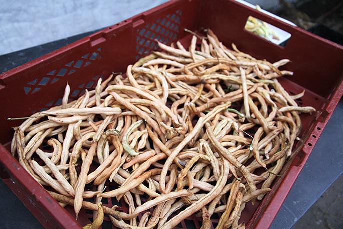 Eftertørring af de høstede tørrebønner