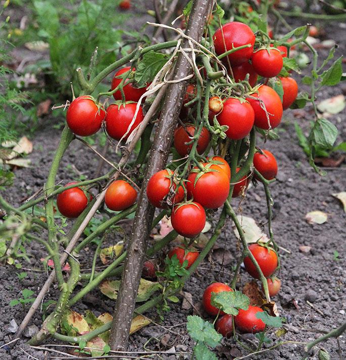 Selv om bladene var fjernet, er tomaterne modnet fint.
