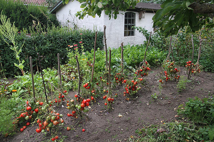 Tomater uden blade. I baggrunden bladselleri og rødbeder.