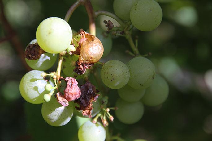 Hvepsene har spist af druerne , som nu rådner.