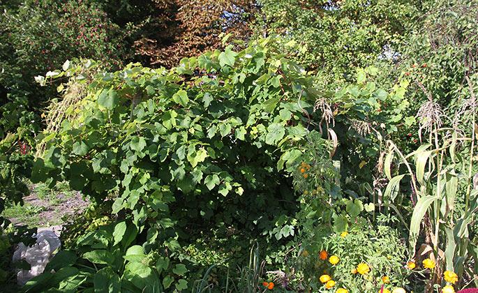 Frodig vinplante - bladhænget er alt for tæt til at vindruerne kan modne.