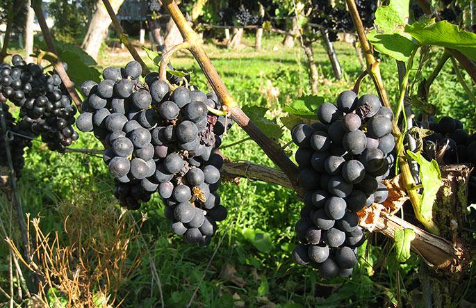 Store flotte druer - søde og næsten modne.