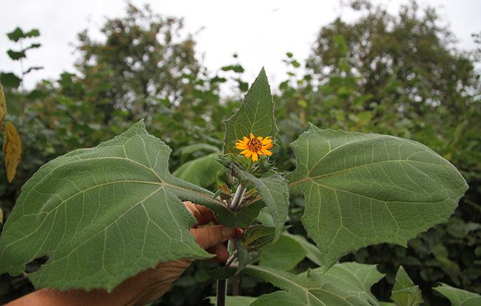 Yakonplanten har store flotte blade og nu også orange blomster i topen.