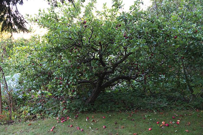Vores Ingrid Marie æbletræ efter at de fleste æbler er plukket.