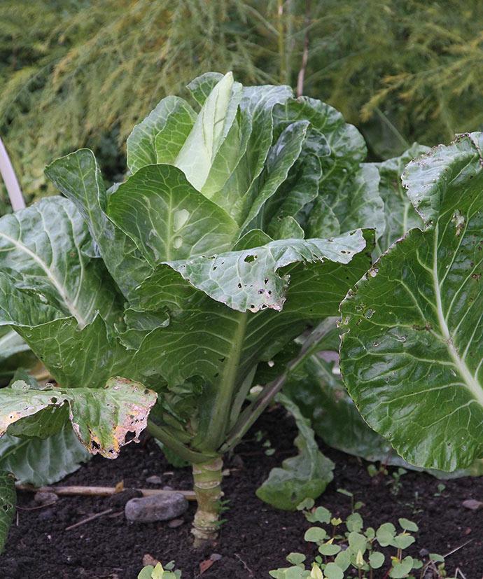 Filderkraut er store planter - med store hoveder.