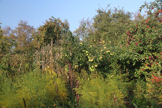 Aspargesplanterne er ved at få gult løv,