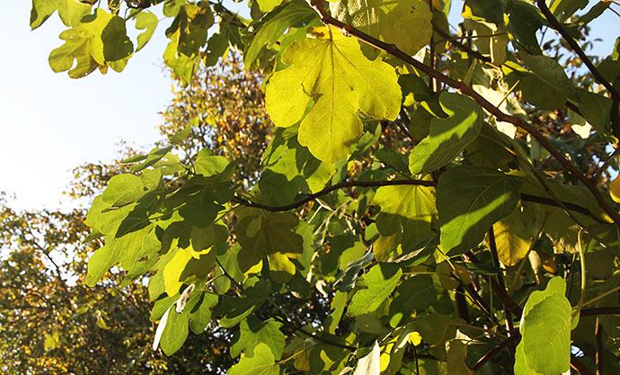 Figentræernes blade får den flotte gule efterårsfarve lige nu. I baggrunden valnøddeblade.