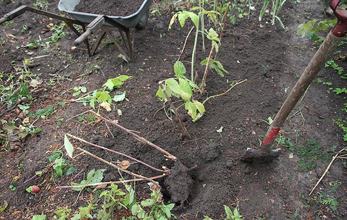 Hindbærrene får nyt voksested.