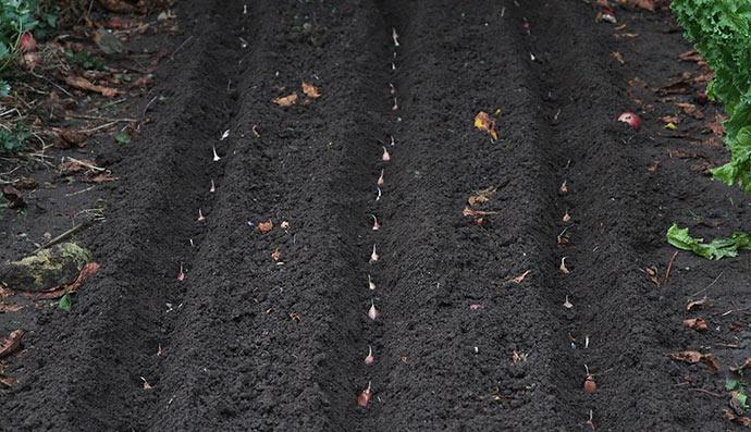 Tre rækker hvidløg på et 110 cm bredt bed.
