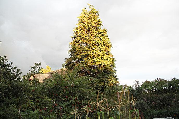 Stor thuja skal fældes sammen med de mindre træer til venstre for det.