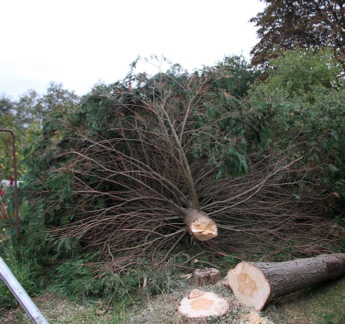 Thuja har mange grene.