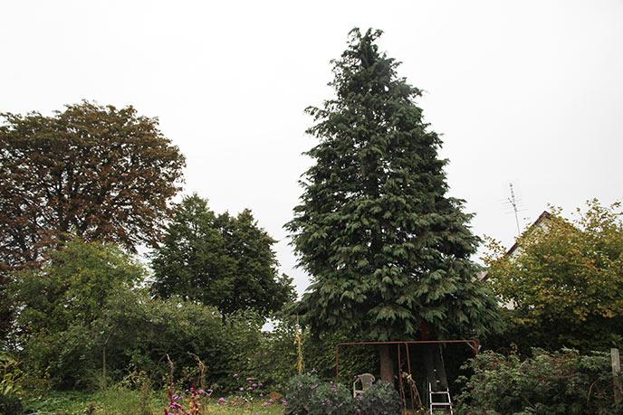 Thuja og kastanjetræ