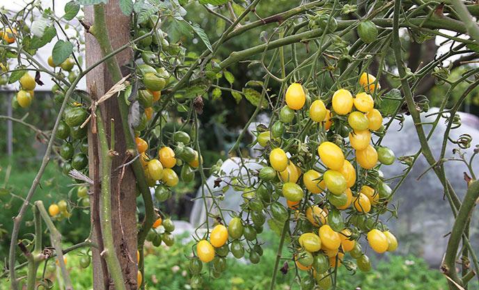 Der sidder stadig mange næsten modne. gule cherrytomater på friland
