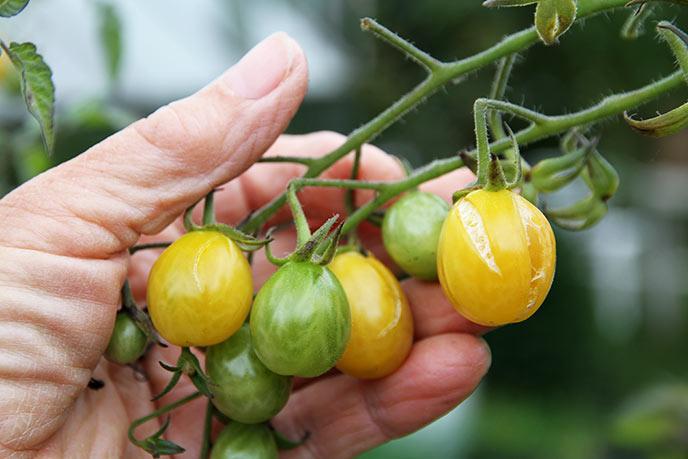 Rigtig mange af tomaterne revner, inden de bliver helt modne.