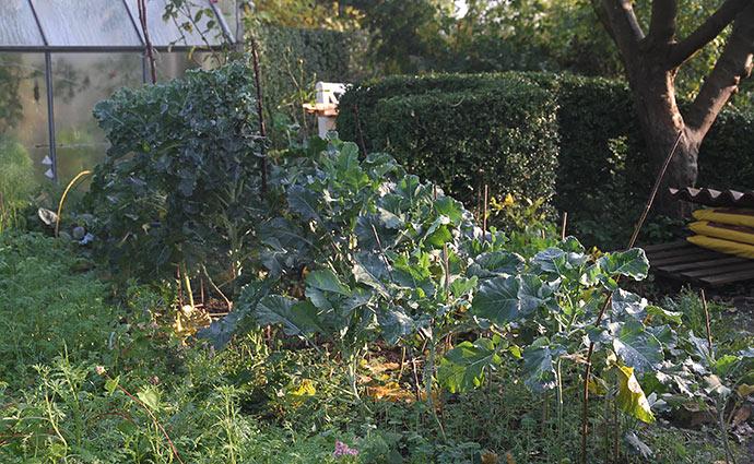 Vinterbroccoli i eftermiddagssol.