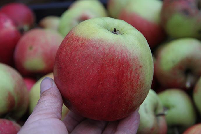 Et stort flot æble. Jonagold bliver flotte røde, hvis de får sol nok.